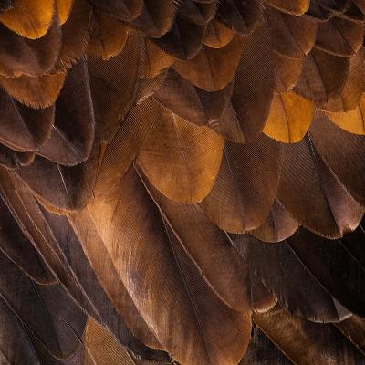Chiếc lông vũ của đại  bàng