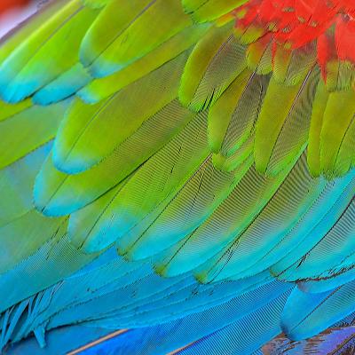 Chiếc lông vũ của con vẹt